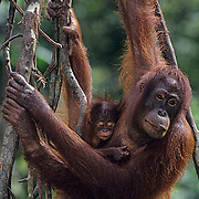 Orangutan, (Pongo pygmaeus) Portrait of mother with baby tuck in arms hanging on vine. Northern Borneo. Malaysia. Controlled Conditons.