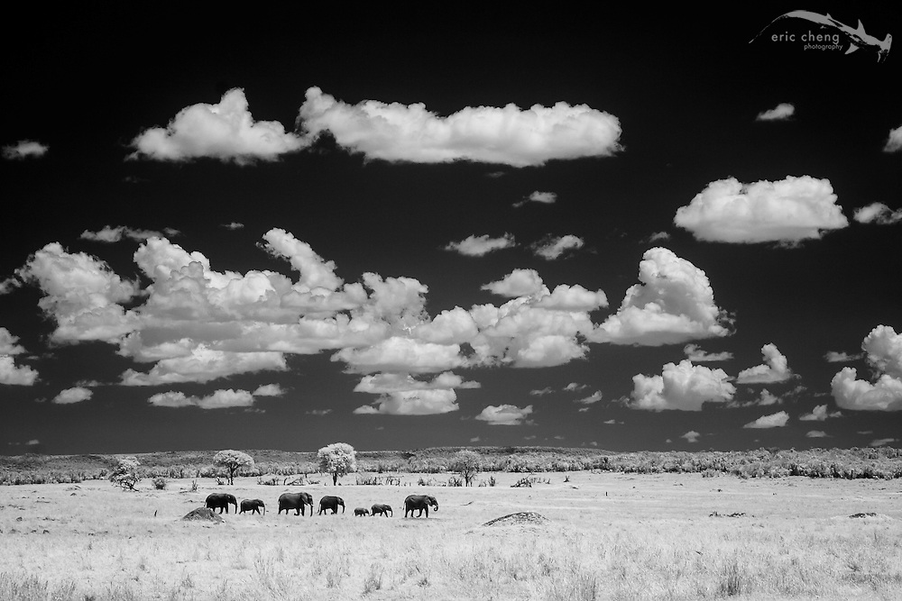 A line of African bush elephant (Loxodonta africana) photographed in near-infrared, Serengeti, Tanzania