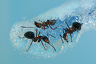 DEU, Deutschland: Rote Waldameise (Formica polyctena), graebt sich einen Gang in Ameisen-Gel. Dieses Gel wurde speziell von der NASA entwickelt und samt Ameisen im Space Shuttel in den Weltraum geschickt. Es sollte erforscht werden wie sich Ameisen ohne Schwerkraft verhalten. Heute kann man dieses Gel fuer die Ameisenhaltung kaufen. Das Gel ist das Nest und gleichzeitig Futter fuer die Tiere. So kann man beobachten wie Ameisen ihre Gaenge graben bzw. sich durchfressen. Das verborgene Leben in einem Ameisennest wird so sichtbar, Freiburg, Baden-Wuerttemberg | DEU, Germany: European wood ant (Formica polyctena), digging a tunnel in ant-gel, developed by the NASA for a 2003 space shuttle experiment, to research the behavior in absence of gravity. the gel is net and feed for the animals. so its possible to watch the ants at work, Freiburg, Baden-Wurttemberg | ..