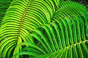 Ferns along the Devastation Trail, Hawaii Volcanoes National Park, Hawaii USA