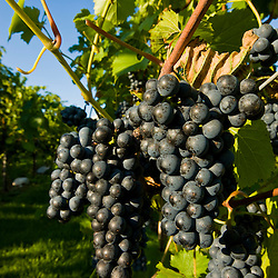 Grapes at Candia Vineyards in Candia, New Hampshire.
