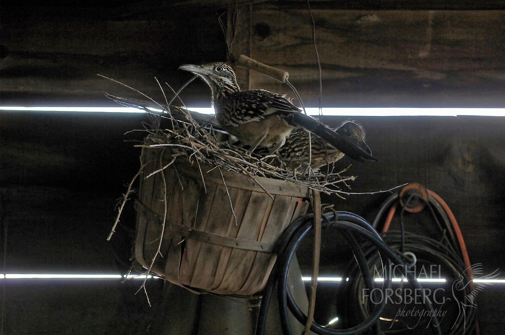 Protected from the elements in an unused shop building on the property of an abandoned farm in Roosevelt County, New Mexico, a pair of greater roadrunners nest in an old peach basket.