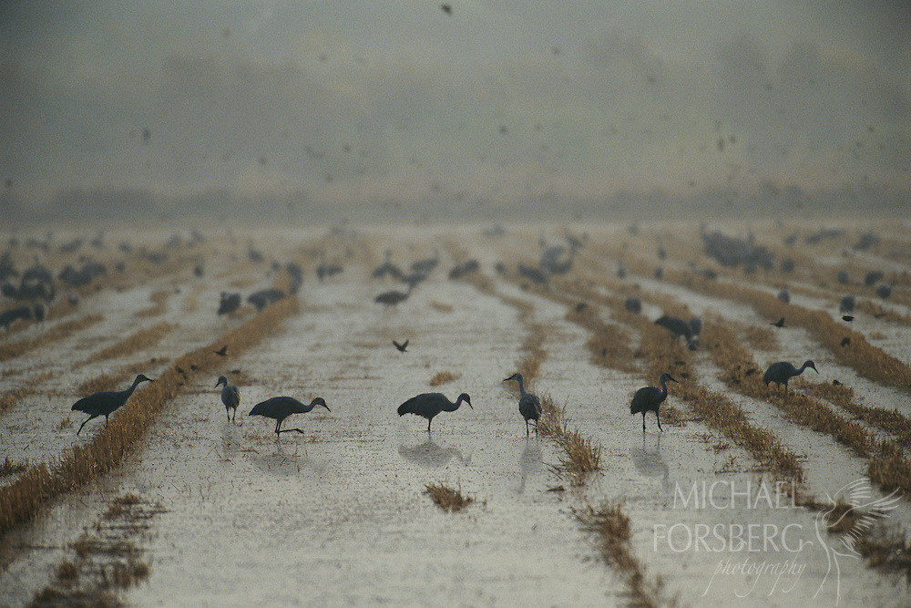 Greater sandhill cranes and blackbirds forage in a rice field, flooded as roosting and foraging habitat each winter in cooperation with The Nature Conservancy and an area farmer. Central California.