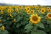 Field of giant sunflowers in Hawaii