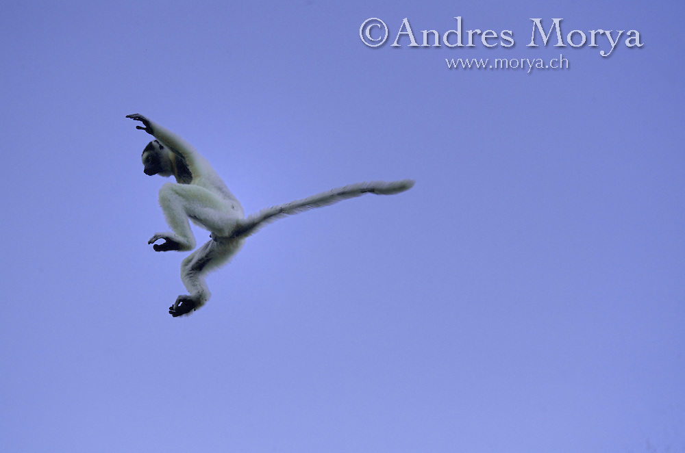 Verreaux's sifaka leaping, Propithecus verreauxi, Berenty Reserve, Madagascar Verreaux's Sifaka (Propithecus verreauxi), adult jumping, Berenty Private Reserve, Madagascar. Image by Andres Morya<br /> <br /> The sifakas are relatively large lemurs that are diurnal, or active during the day. These lemurs are called sifakas because of the sound of their distinct &ldquo;si-fak!&rdquo; call. They have extremely long legs and their favorite position to &ldquo;hang out&rdquo; in is vertical, clinging to tree trunks. Those same long legs help them leap powerfully from tree to tree, sometimes resembling a basketball player at the apex of a rim-rattling slam-dunk. But on the ground sifakas are equally captivating, bounding along in a comical sideways dance with arms flailing overhead for balance.