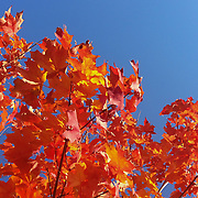 Maple Tree foliage.<br />