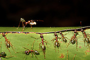 Green tree ants securing  leaves together while waiting for the arrival of the glue - silk from the larvae