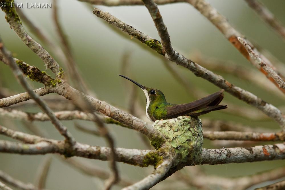 female Black-throated Mango (Anthracothorax nigricollis) sitting on a nest above Anangu Lagoon, Orellana Province, Ecuador