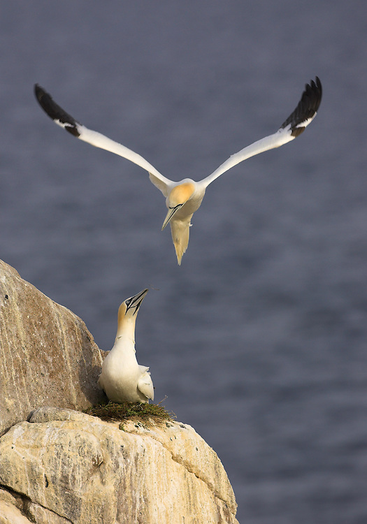 Gannets (Morus bassanus), Saltee Islands, Ireland.