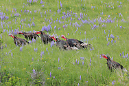 Merriam Wild Turkeys in Field of Lupines