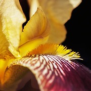 Detail of an heirloom iris.