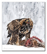 Golden Eagle at its prey. Nikon D500, 600mm (900mm in full frame), f4, EV+0.67, 1/1000sec, ISO500, Aperture priority