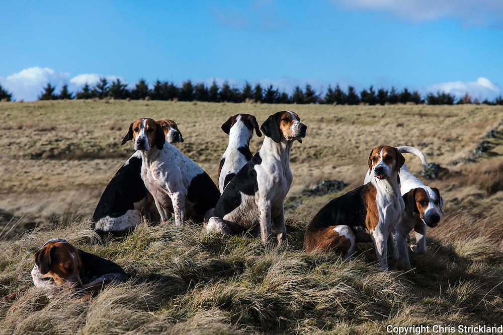 Hounds of the Jedforest Hunt take a breather - (l to r) Dewdrop (lying), Agnes, Gambler, Gunner (facing away), Geezer, Hassle, and Gurkha.