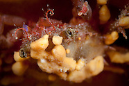 Notomithrax sp. (Decorator crab)