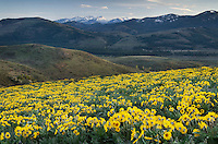 Methow Valley wildflowers, Balsamroot (Balsamorhiza deltoidea), North Cascades Washington