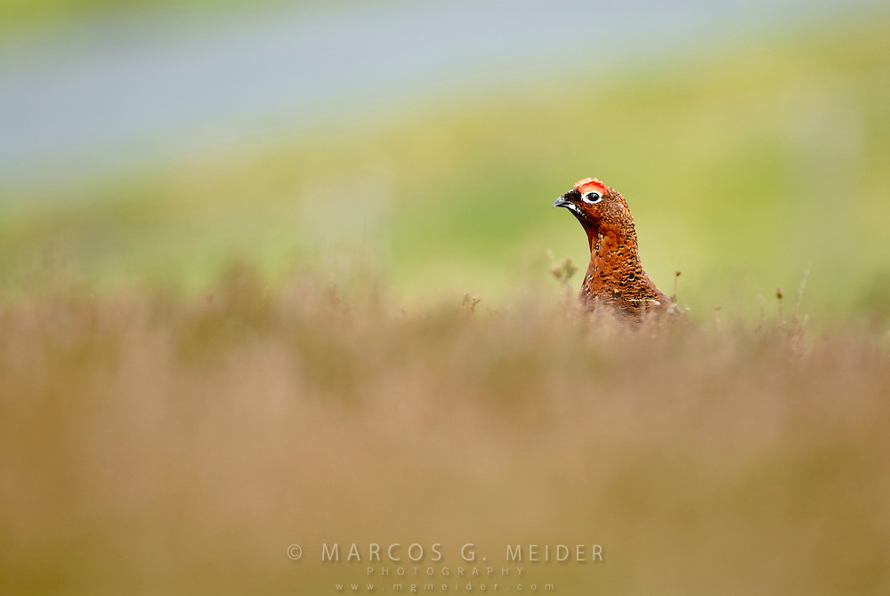 &lt;b&gt;EN&lt;/b&gt;. Red Grouse (Lagopus lagopus scoticus). Male scouting over heatherland.  Yorkshire. England. UK.<br />