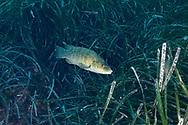 Brown wrasse-Labre merle (Labrus merula) of mediterranean sea.
