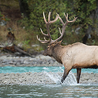 bull elk in river crossing