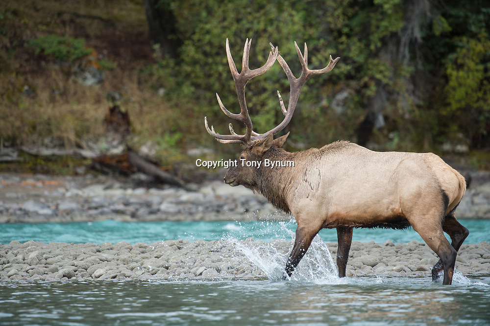 bull elk in river crossing