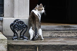 Downing Street, London, August 2nd 2016. Tensions appear to be ongoing in Downing Street as Larry the cat from No. 10 and Palmerston, newly resident at the Foreign Office continue their territorial feud. PICTURED: A tense Larry slinks back into the save haven of 10 Downing Street.