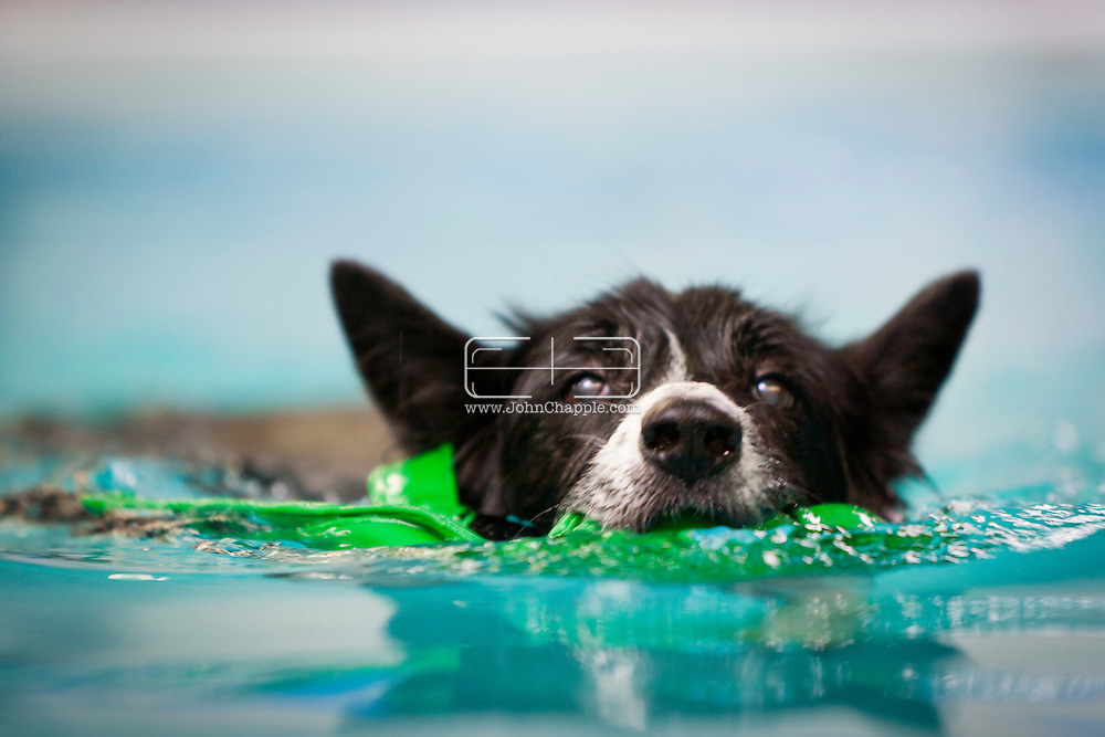 September 28th, 2011. Los Angeles, California. Canine rehab facility Two Hands Four Paws offers treatments like acupuncture, massage, and swim therapy for dogs. Pictured is Percy the Border Collie having a shower and then going for a swim..© JOHN CHAPPLE / www.johnchapple.com