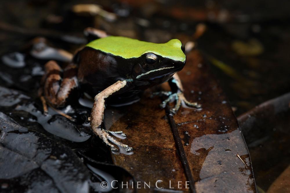Climbing Mantella (Mantella manery), endemic to Marojejy National Park.