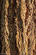 The bark of an old-growth Douglas Fir