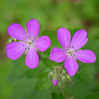 Wild geraniums, Great Smoky Mountains National Park.