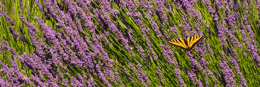 Lavender Fields:  Riversong/Lavender Valley, Oregon