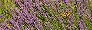 Lavender Fields:  Riversong/Lavender Valley, Oregon