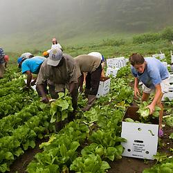 Farmhands harvest organic lettuce at the Harlow Farm in Westminster, Vermont.  Connecticut River Valley.