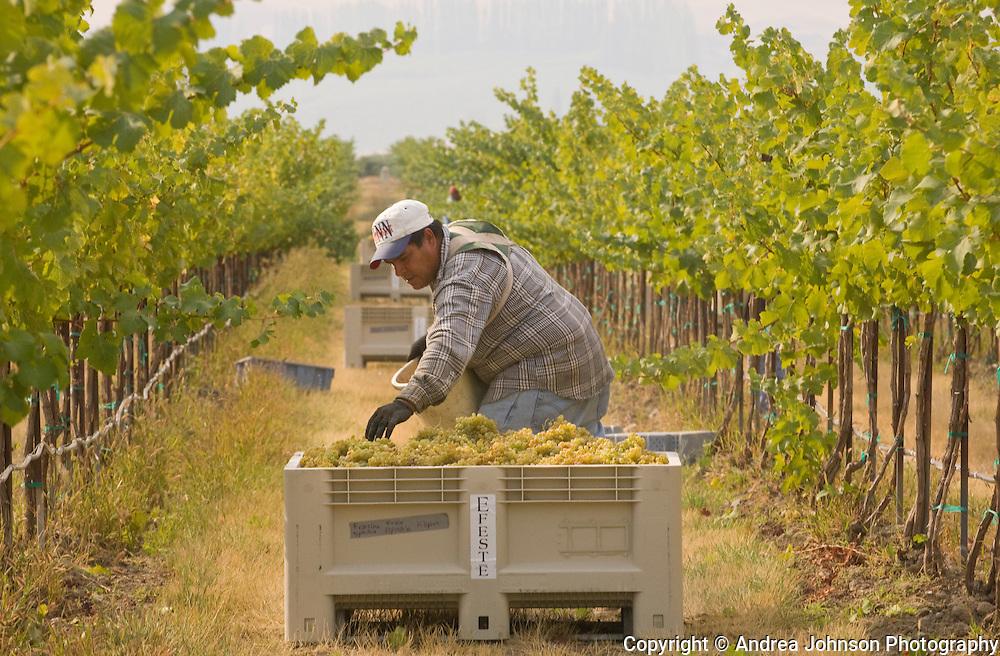 Harvesting Semillon grapes, Klipsun Vineyards, Red Mountain AVA, Yakima Valley wine region, Eastern Washington, USA