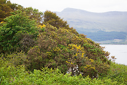 Common Gorse (furse, whin) and bracken, Scotland. Ulex europaeus, Pteridium aquilinum