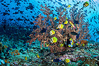 Butterflyfishes, Triggerfish, and Co., swarm the reef<br /> <br /> Shot in Indonesia