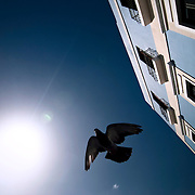 A pigeon, silhouetted by the midday sun, flies past a blue-colored building in Old San Juan, Puerto Rico.  Home to hundreds of pigeons, Parque de las Palomas (Pigeon's Park), is located near the Paseo de la Princesa in Old San Juan, Puerto Rico, and is a popular destination for tourists and locals alike.