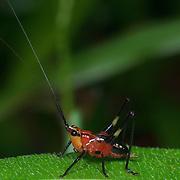 Conocephalus melaenus, long horned grasshopper nymph, Tettigoniidae, in Chonburi, Thailand.