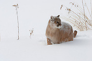 Mountain lion in snow,<br /> Felis concolor,<br /> controlled  situation