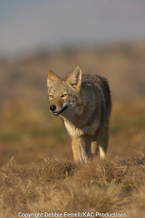 coyote looking toward photographer with mouth open