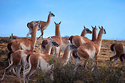 Herd of wild guanacos  in Parque Nacional Torres del Paine, Chile, South America
