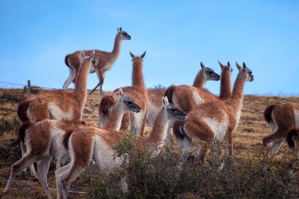 Herd of wild guanacos  in Parque Nacional Torres del Paine, Chile, South America