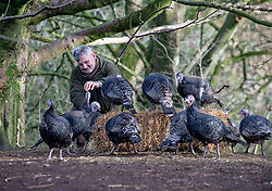 Turkey farmer Tom Carr from Millhilll Farm in Dumfries get's his free range turkeys ready for the festive season, as the busiest period of the season starts.<br /> <br /> © Dave Johnston / EEm