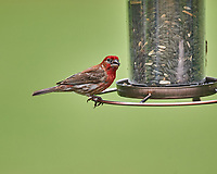 Male House Finch. Image taken with a Nikon D4 camera and 600 mm f/4 VR telephoto lens