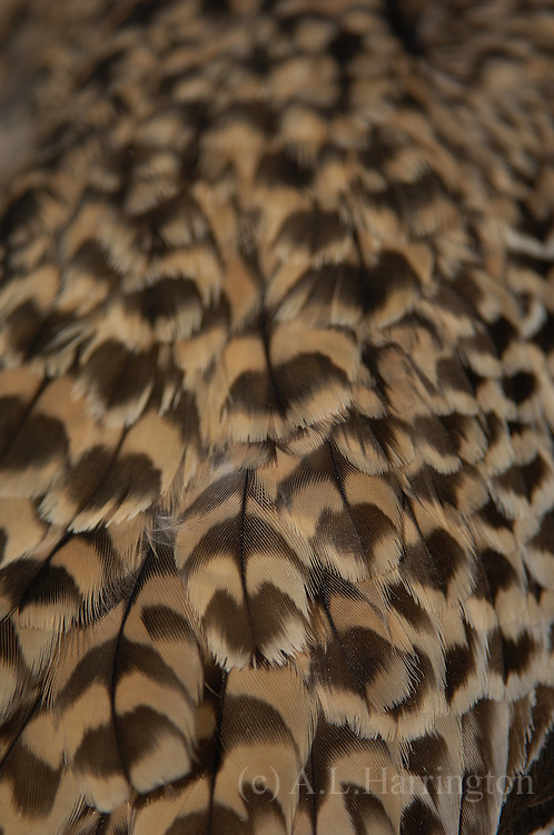 Spotted dikkop Burhinus capensis feathers