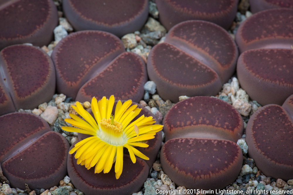 Lithops aucampiae 'Chocolate Puddle' 20141012-201410122010-_MG_8342