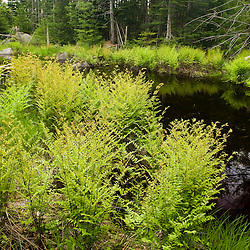 Ferns next to Moores Brook in Ellsworth, Maine.  Moores Brook empties into Branch Lake.