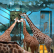 Detail of Giraffes eating in  enclosure with fresco,  Parc Zoologique de Paris, or Zoo de Vincennes, (Zoological Gardens of Paris, also known as Vincennes Zoo), 1934, by Charles Letrosne, 12th arrondissement, Paris, France, pictured on November 19, 2010, in the afternoon. In November 2008 the 15 hectare Zoo, part of the Museum National d'Histoire Naturelle (National Museum of Natural History) closed its doors to the public and renovation works will start in September 2011. The Zoo is scheduled to re-open in April 2014. Picture by Manuel Cohen.
