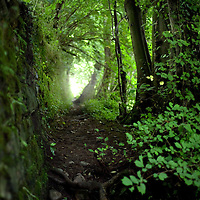 Sunlight on green leaves in an English wood by a path