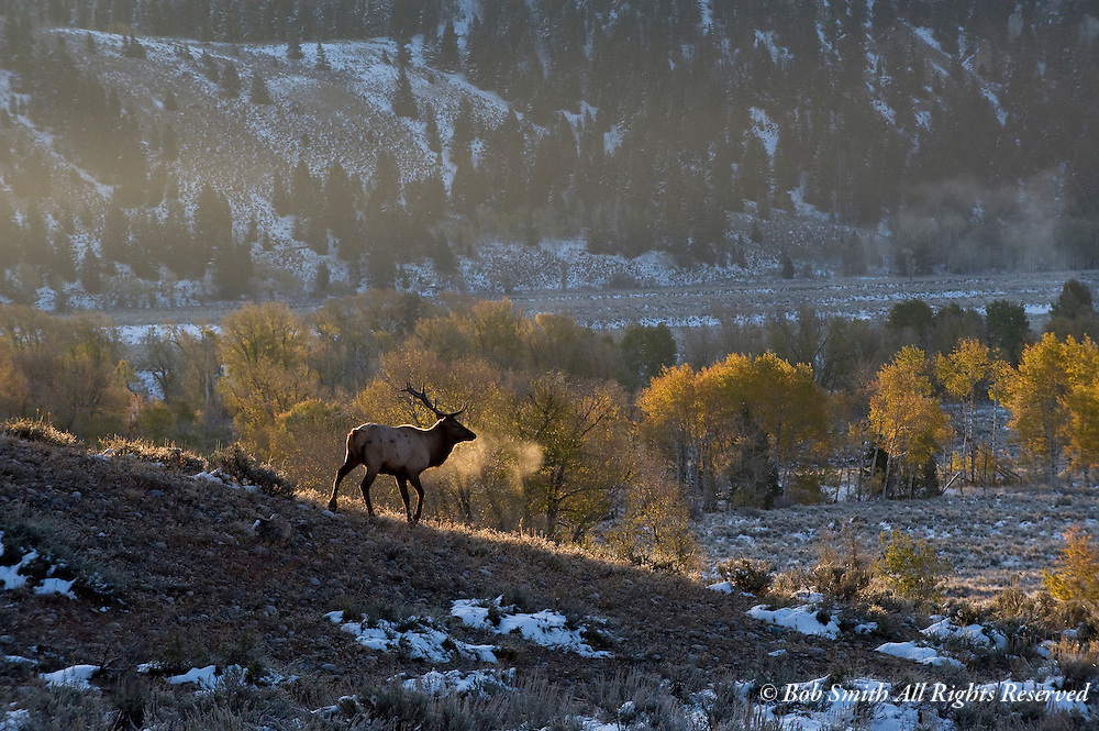 Bull elk on a cold, frosty morning at sunrise with fresh snow