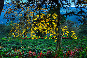 Flowering Corteza Amarillo Tree gives shade to coffee plants on a coffee farm in the Orosi Valley of Costa Rica.