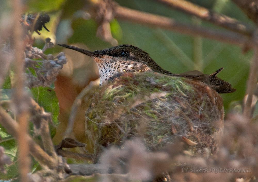 Wine-throated Hummingbird female on nest, Atthis ellioti, Guatemala